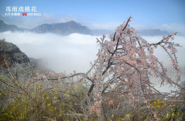【林州摄影师白开水】冻雨戏桃花