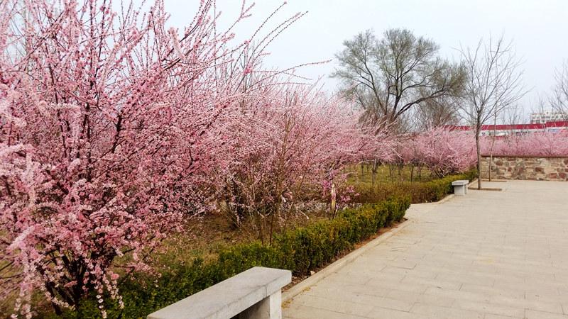 赏花何必远去 林州市区小树林风景独好
