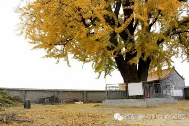 林州:古老的的银杏树1100岁,一年中最辉煌的时刻...