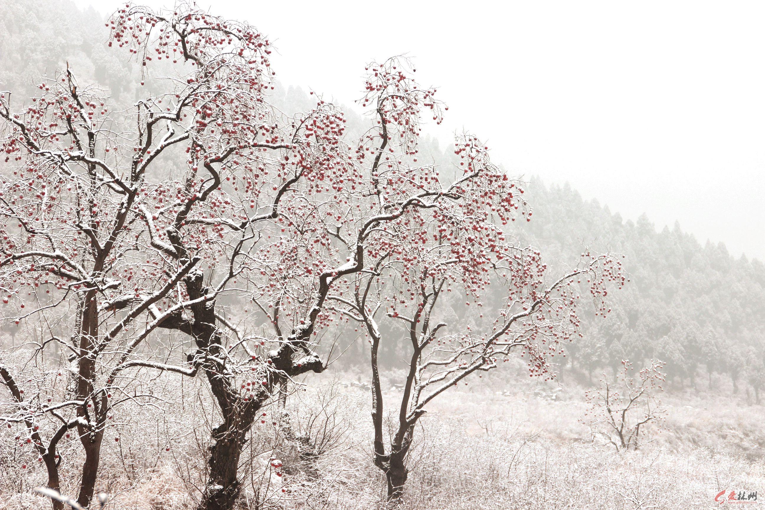 冬天梅花树图片