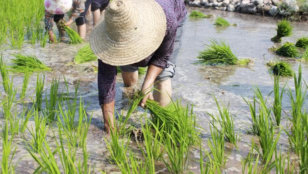 """林州有个""""北方小江南"""" 千亩稻田插秧忙"""