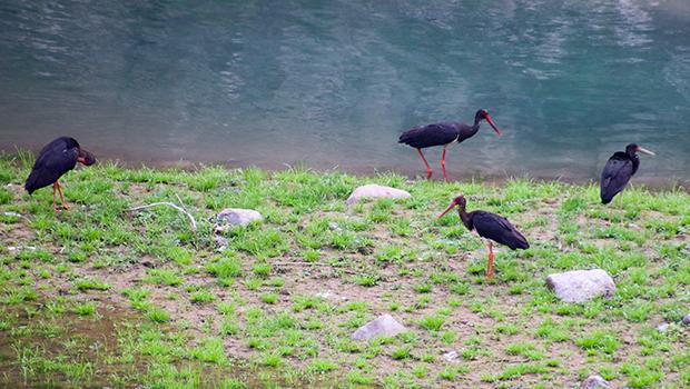 """""""鸟中熊猫""""黑鹳现身林州弓上水库  是国家一级保护动物"""