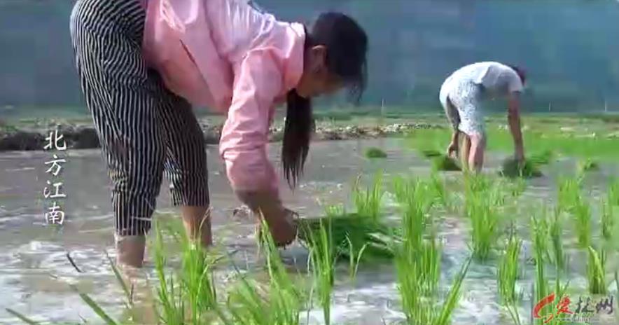 稀奇:林州北方江南种植水稻 (10248播放)