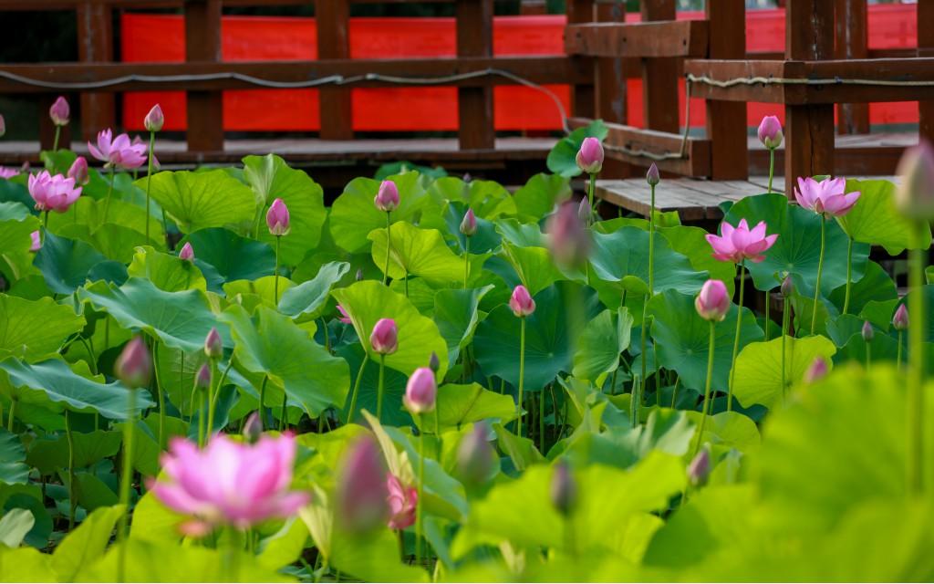 林州:人民公园荷花千姿百态